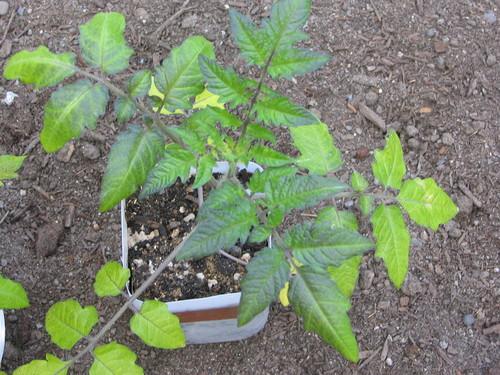 Tomato magnesium deficiency